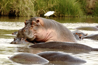 Hippo love, Serengeti River 081215-MK3-7354