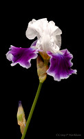 Violet and White Iris150516-125526-5D-26246