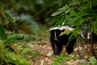 Skunk foraging sunflower seeds 150727-115749-5D-30423
