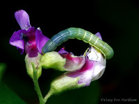 Butterfly Larva on Lathyrus polyphyllus flowers 120716-162406-MK4-10204