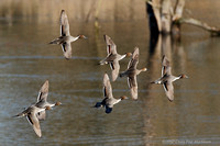 Pintails in flight 101219-MK3-7150