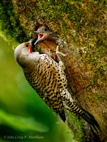 Male Northern Flicker feeding chick 110615-190102-MK3-4942
