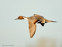 Pintail duck male in flight 101219-MK3-7070