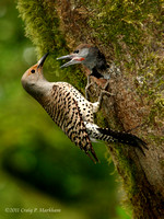 Female Northern Flicker feeding male chick 110618-175443-MK3-5014