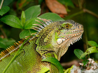 Green Iguana, Canopy Tower110416-MK3-1054