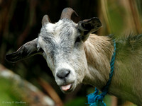 Goat with attitude 120126-091645-Mk4-8855