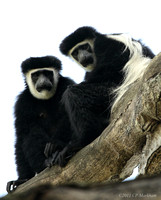 Colubus Monkeys, Ngani Village 081230-MK3-0059