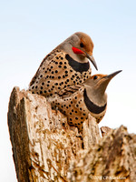 Northern Flickers mating 110430-112616-MK3-2137