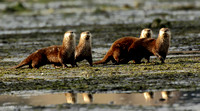River Otters on Rolling Bay, Bainbridge Is, WA 100323-MK3-3274
