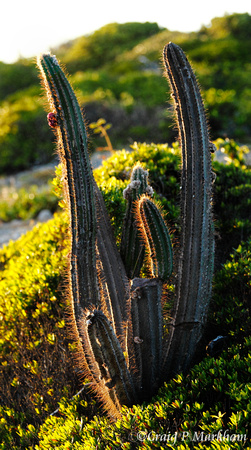 Large Cactus, Guanica Reserve 130107-174854-MK4-20033