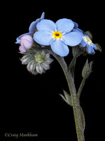 Forget-me-not 120501-231904-MK4