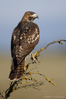 Red-tailed Hawk 081021-MK3-3540